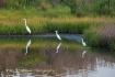 Egrets, Chincotea...
