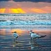 Three Terns at Su...