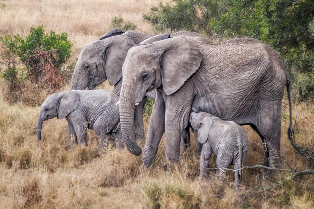 Elephant Family  5702 - ID: 15692559 © Karen Celella