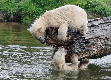 Polar Bear Cubs Playing