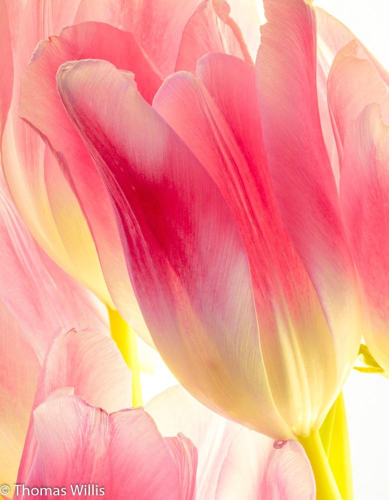 Tulips on a Light Box