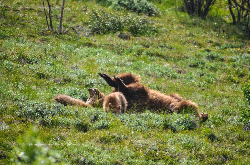 Playful Ma Ma Grizley! - ID: 15702321 © Kathleen Holcomb Johnson