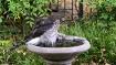Hawk in the Bird ...