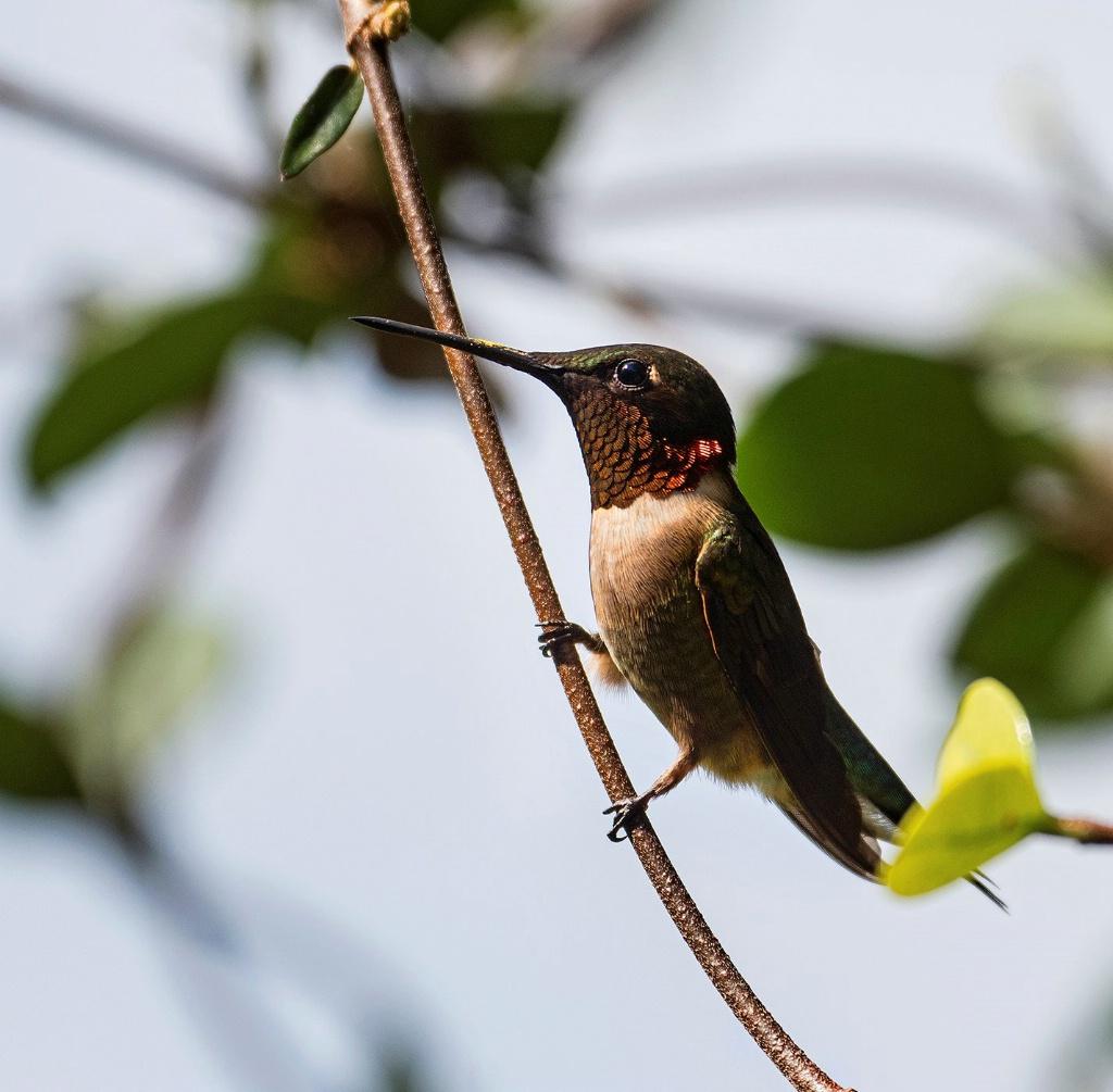 Hummingbird  14 - ID: 15707614 © Michael Cenci