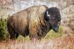 Bison - Custer St...