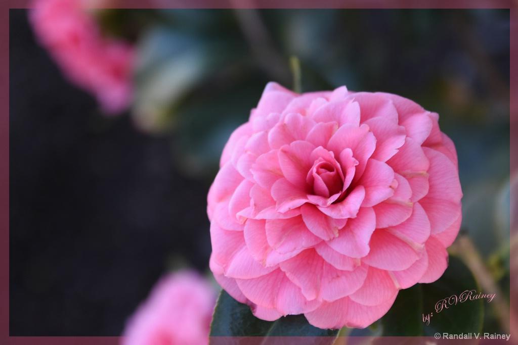 Pretty in Pink... - ID: 15709142 © Randall V. Rainey