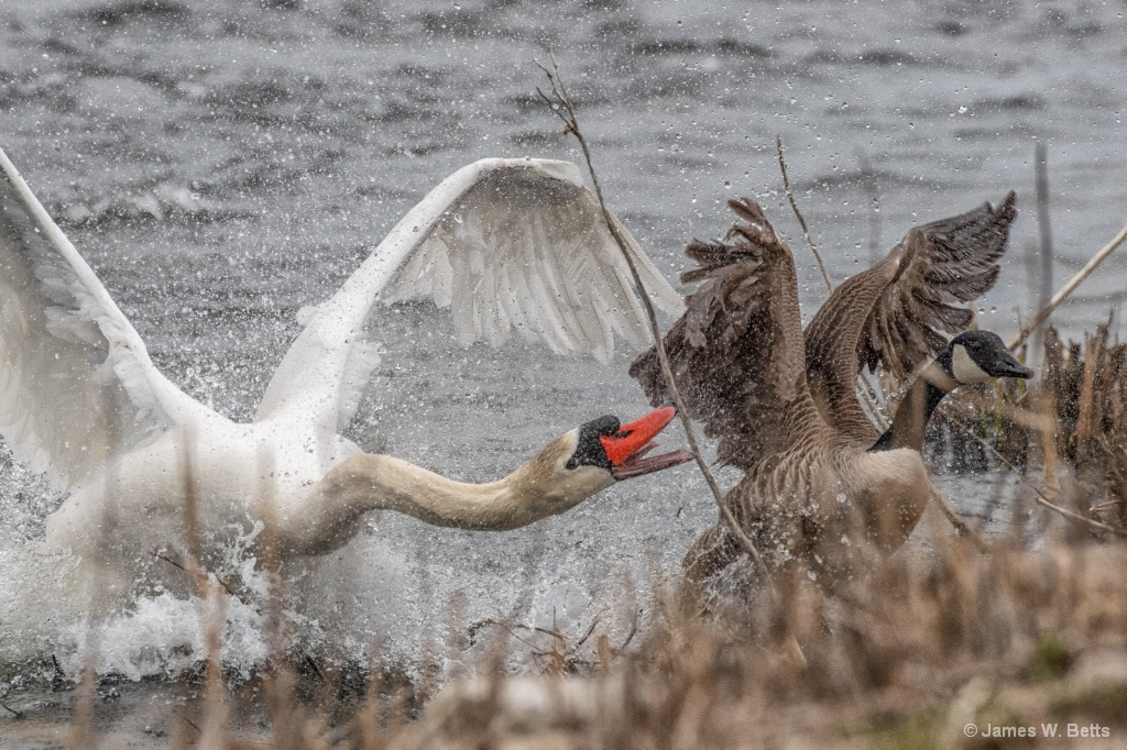 A Swan protecting its territory.