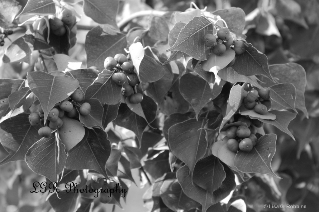 Black  White Berries