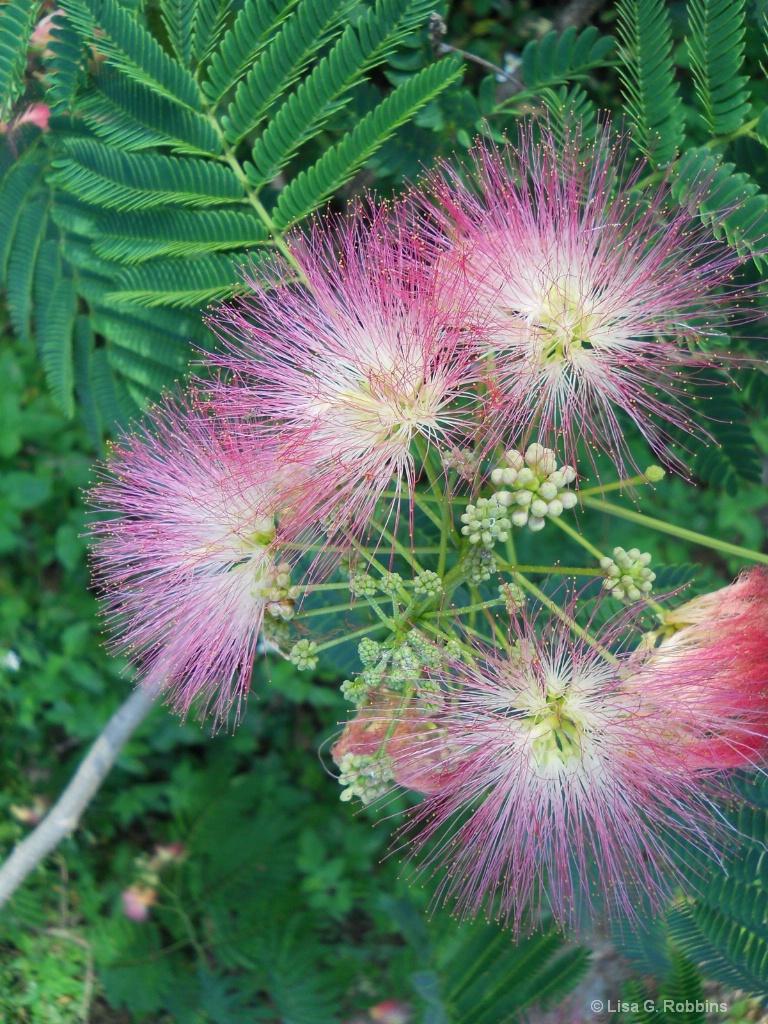 A Beautiful Mimosa