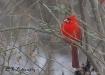 Cardinal in Winte...