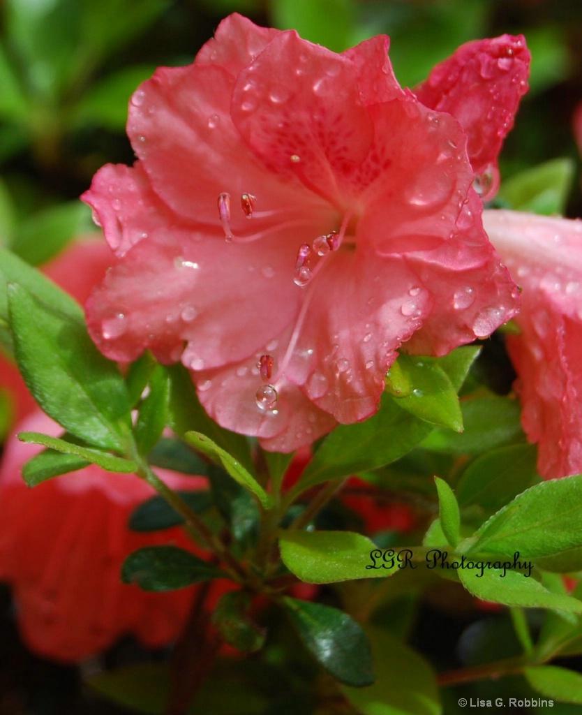 Azaleas after the Rain