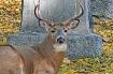 Deer Among The To...