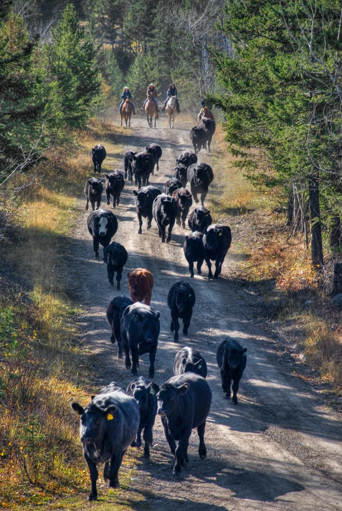 Bringing the Cattle Home