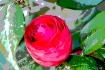 Bold Camellia