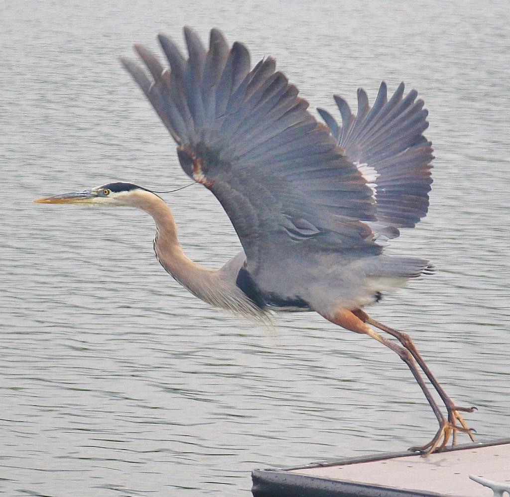 Mr. Blue Heron
