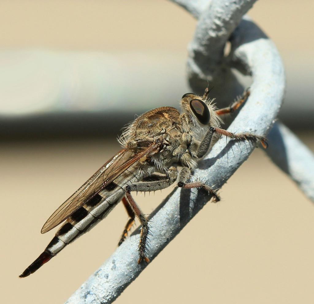 Robber Fly - ID: 15720010 © Lynnmarie Daley