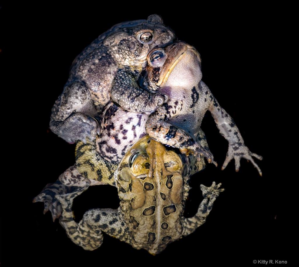 Toads in Love Under Water - ID: 15720134 © Kitty R. Kono